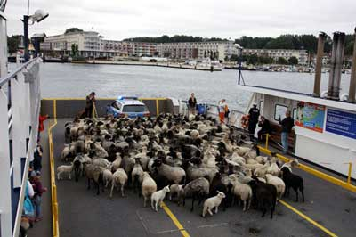Aus den kleinen Lämmern werden dann Schafe - die hier mit Schäfer Andre Schwendel vom Dummersdorfer Ufer nach Travemünde fahren. Foto: JW.