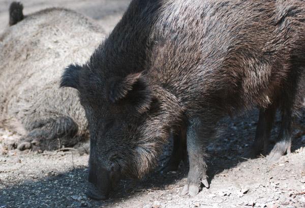 Minister: Land ist auf Afrikanische Schweinepest vorbereitet