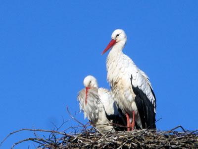 Seit Sonntag ist der Storch in Hamberge nicht mehr alleine. Fotos: Erhard Graf