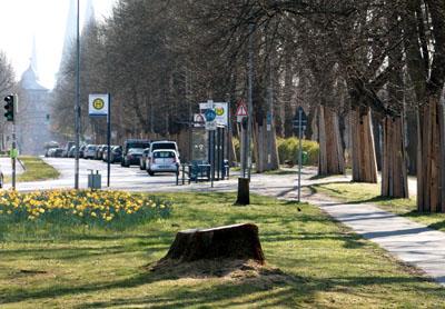 Die Eichen wurden gefällt, damit der neue Radweg nicht wieder beschädigt wird. Fotos: VG